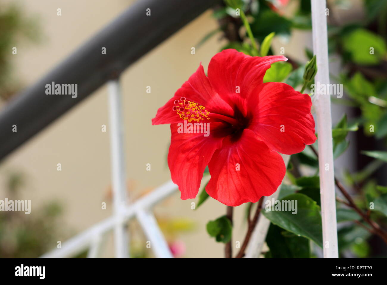 Hibiscus Syriacus Or Rose Of Sharon Or Syrian Ketmia Or Rose Mallow
