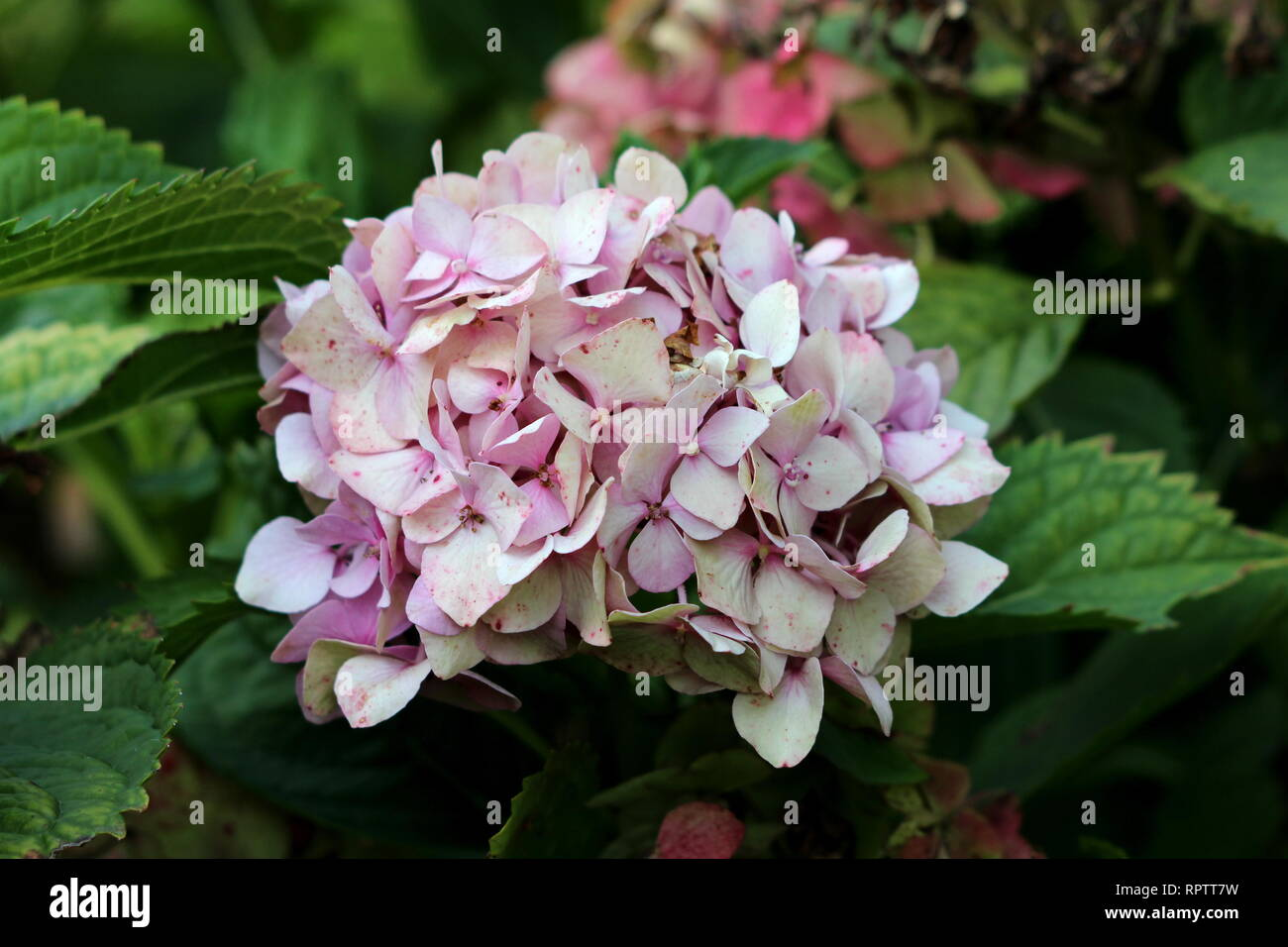 Hydrangea or Hortensia garden shrub with multiple small dark pink flowers with spots and pointy petals surrounded with thick green leaves - Stock Image