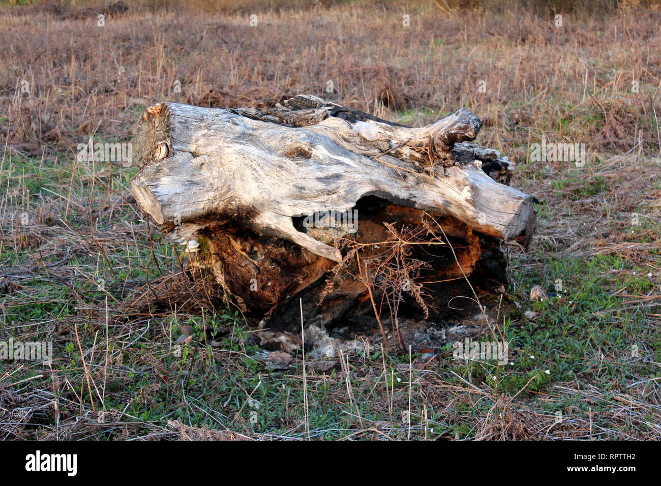Large cut down and digged out tree stump left in middle of field surrounded with grass and other dried plants on warm sunny day at sunset - Stock Image