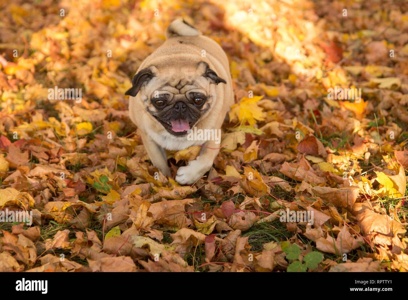Happy pug dog  - Stock Image