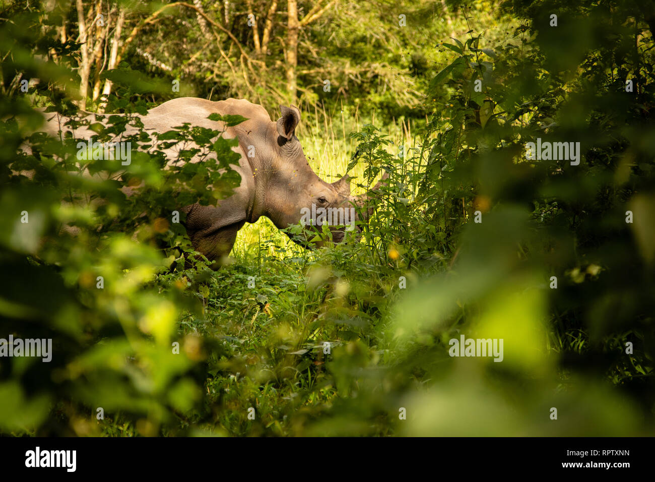 A White Rhinoceros (Ceratotherium simum) grazing in amongst the bushes at Ziwa Rhino Sanctuary in Uganda - Stock Photo