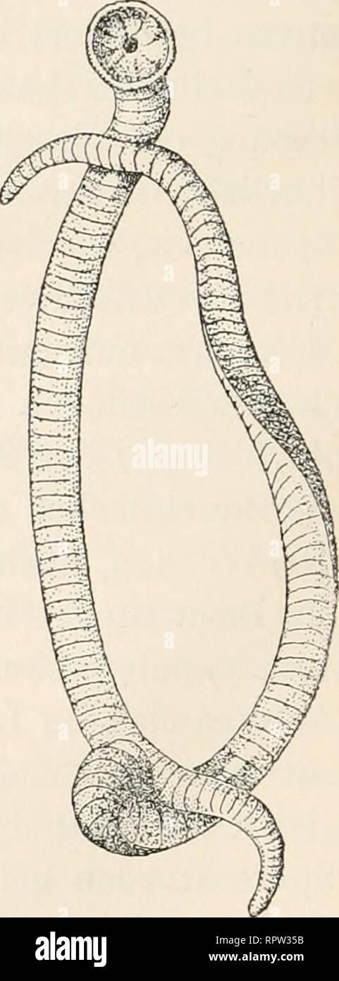 . Allgemeine Biologie;. ^r. Fig. i8. Kopulation des javanischen Flug- frosches (Polypedates reinwardtii). Nach M. SiKDLECKi. wardtii (Fig. l8) verläuft, nach den Beobachtun- gen von Siedlecki, derart, daß die Tiere zuerst durch die ganze Nacht gepaart bleiben. Die Ent- leerung der Geschlechtselemente vollzieht sich auf einem Blatte, auf welches das Weibchen mit dem auf ihm reitenden Männchen wandert. Indem das Weibchen die Eier in eine schleimige, gleich- zeitig ausgeschiedene Masse ablegt, werden sie mit Sperma begossen. Die beiden Partner bewegen jetzt schnell die Hinterfüße, wodurch die sch Stock Photo