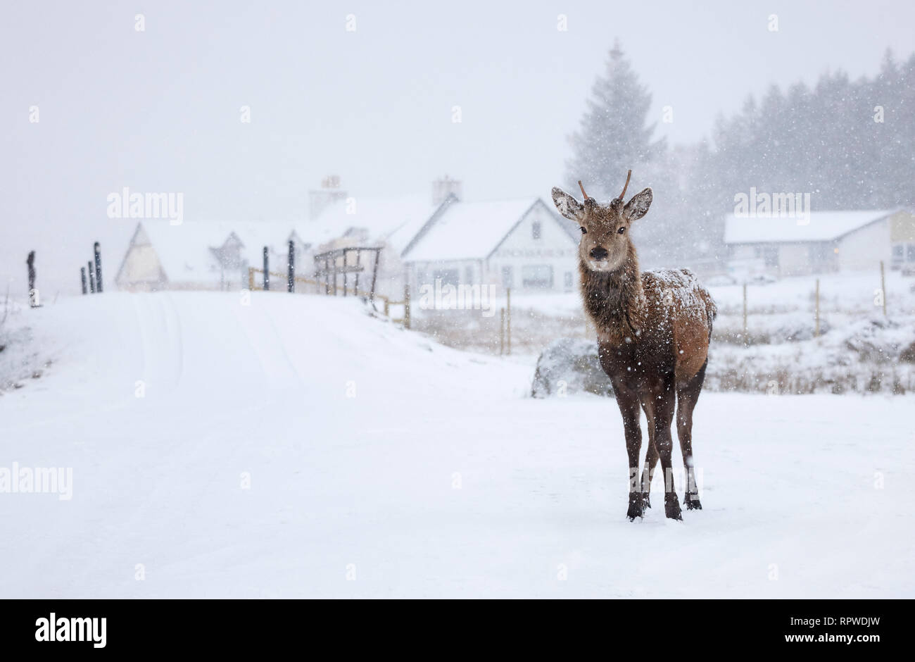Red Deer standing proud in the Snowy highlands of Scotland - Stock Image