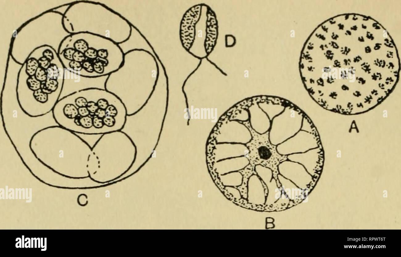 The algae. Algae. Fig. 149 Halosphaera viridis. A, mature ...