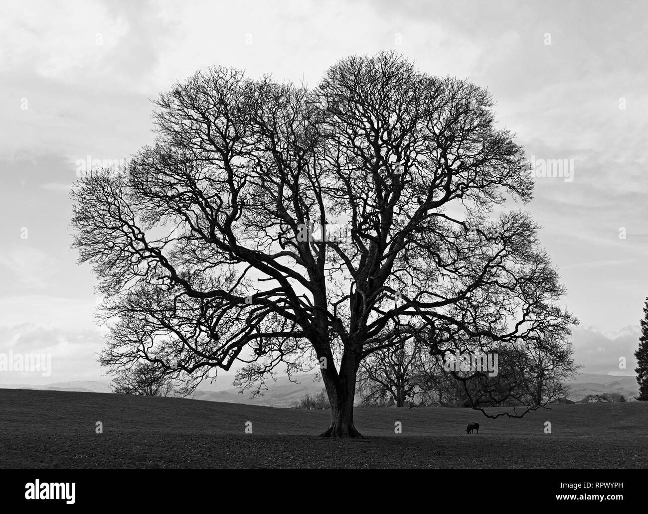 Monochrome image of oak tree in winter with sheep. Castle Green, Kendal, Cumbria, England, United Kingdom, Europe. Stock Photo