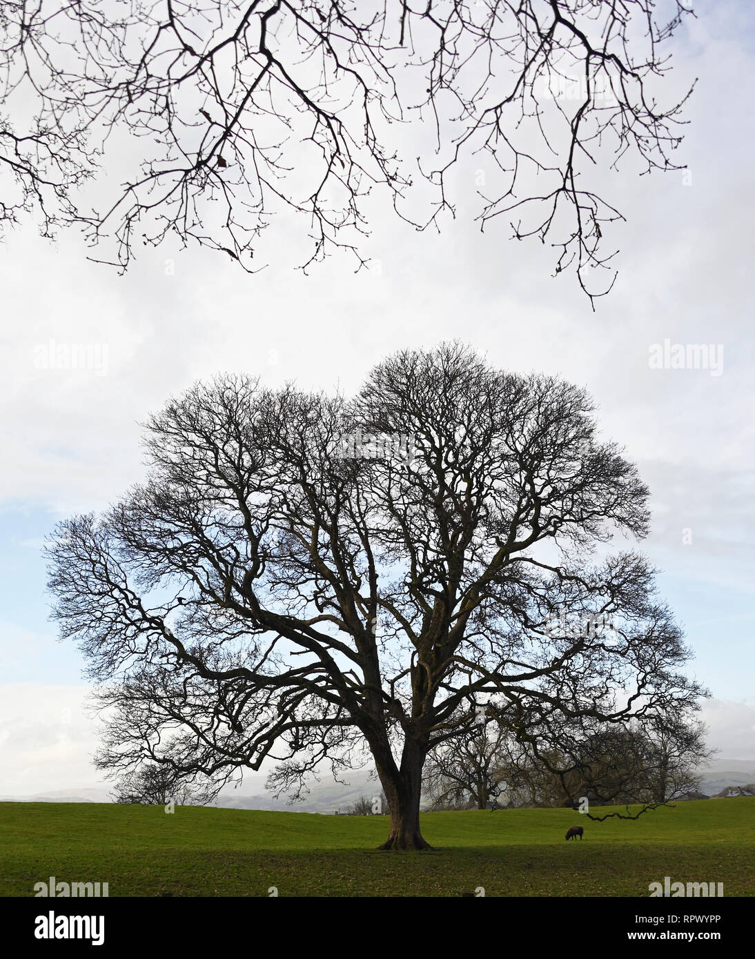 Oak tree in winter with sheep. Castle Green, Kendal, Cumbria, England, United Kingdom, Europe. Stock Photo