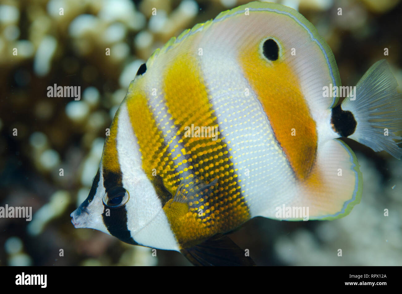 Orange-banded Coralfish, Coradion chrysozonus, Barracuda Rock dive site, Fiabacet Island, Misool, Raja Ampat (4 Kings), West Papua, Indonesia - Stock Image