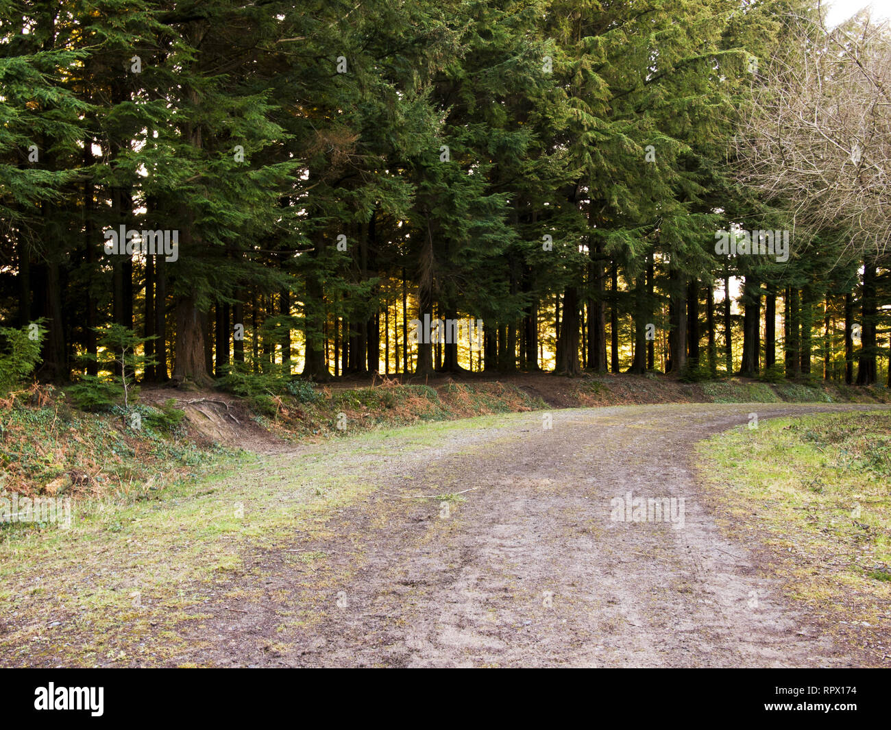 Forest track, Cornwall, UK - Stock Image