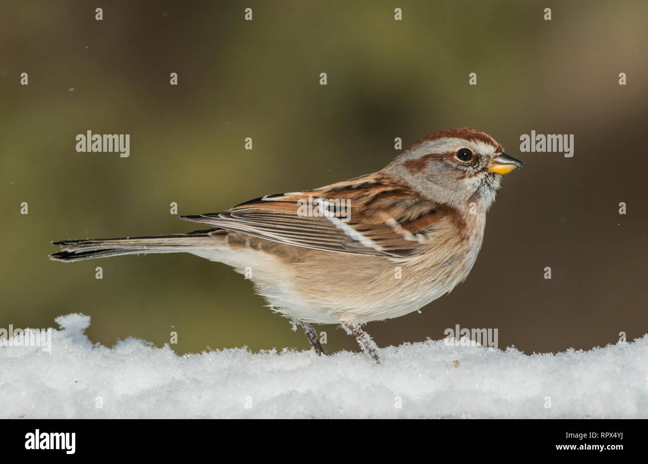 zoology / animals, avian / bird (aves), American Tree Sparrow (Spizella arborea) in winter near Thornt, Additional-Rights-Clearance-Info-Not-Available - Stock Image