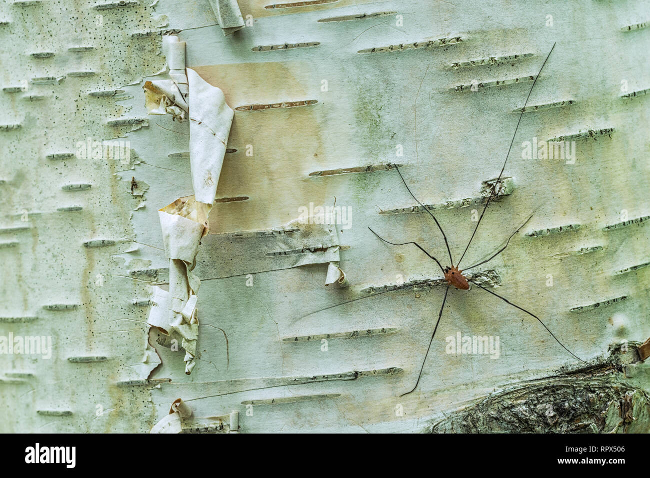 zoology / animals, arachnid (arachnida), Brown Dady Long Legs Spider (Phalangium opilio) on white pape, Additional-Rights-Clearance-Info-Not-Available - Stock Image