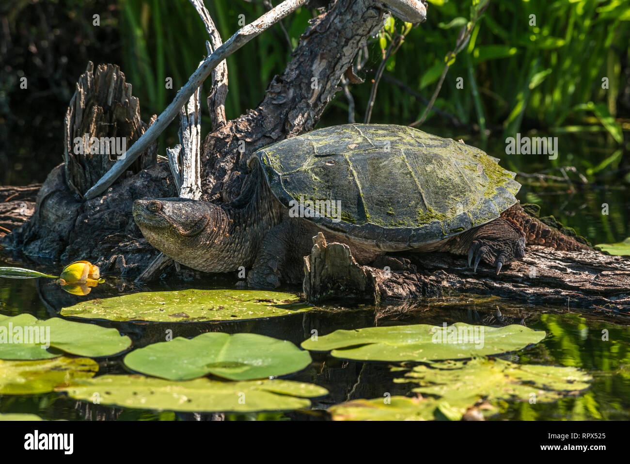 zoology / animals, reptile (reptilia), Common Snapping Turtle (Chelydra serpentina) basking on a log i, Additional-Rights-Clearance-Info-Not-Available Stock Photo