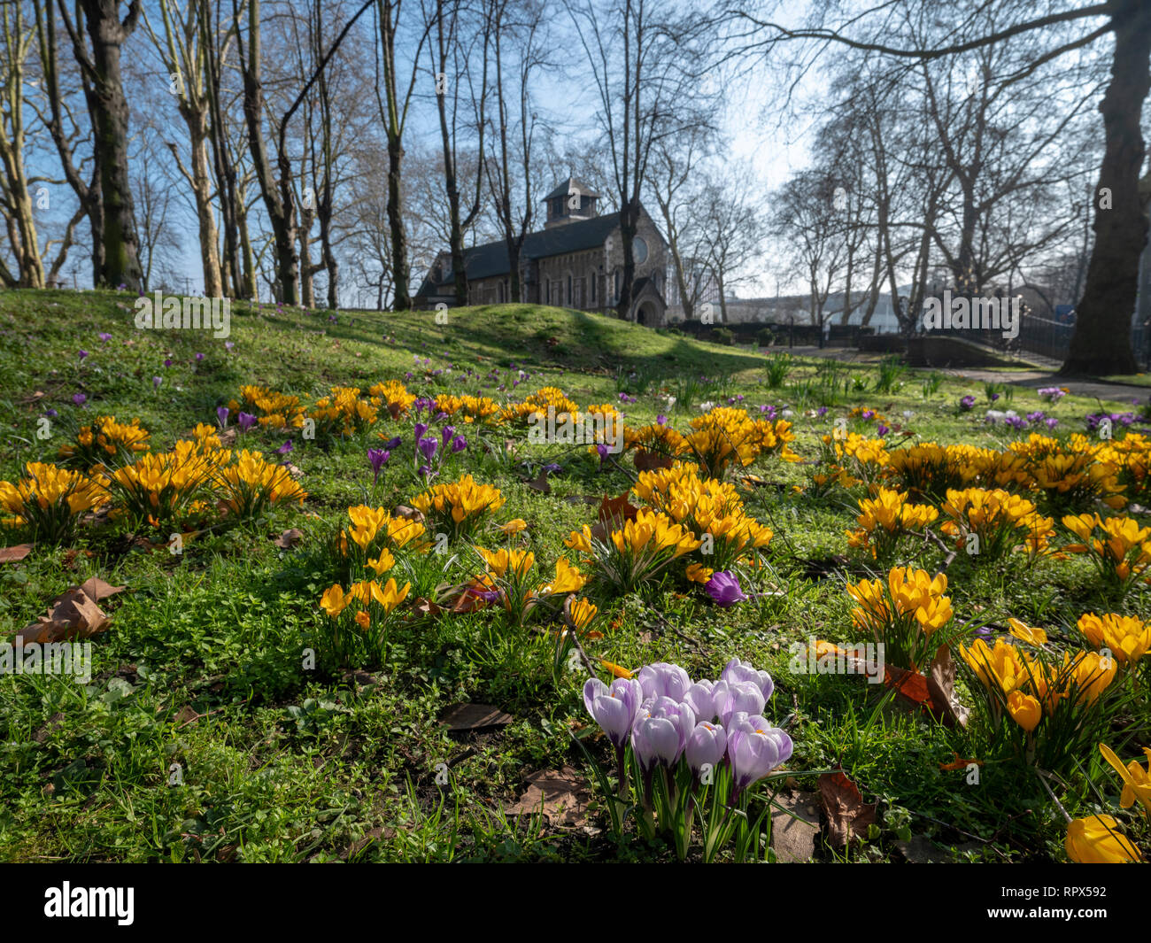 London, St Pancras Old Church graveyard, February 24th 2019, spring flowers are already in bloom due to the unseasonably warm and sunny weather - Stock Image