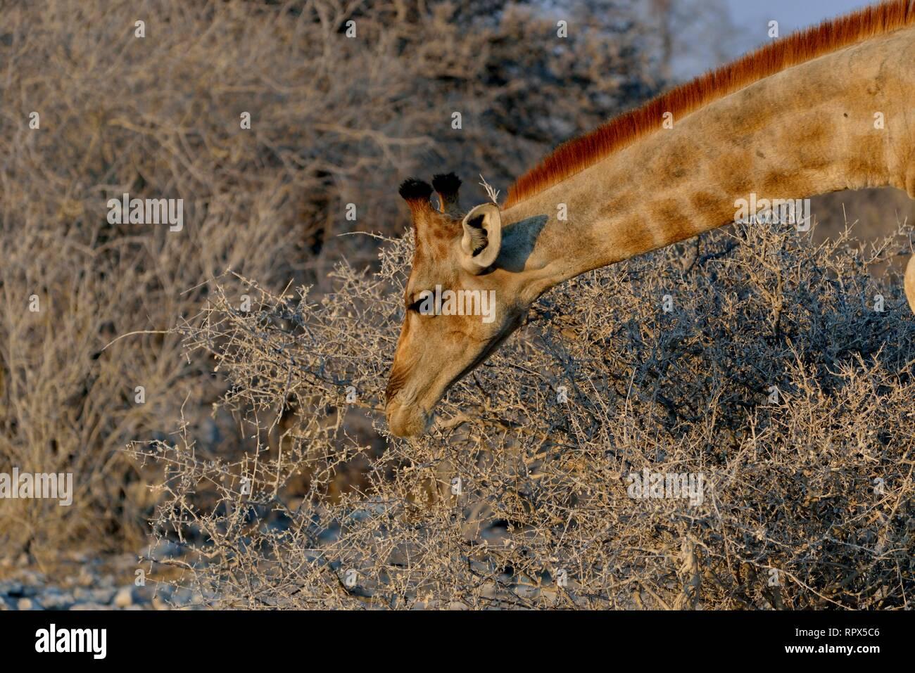 zoology, mammal (mammalia), giraffe (Giraffa camelopardalis), Etosha National Park, Namibia, Africa, Additional-Rights-Clearance-Info-Not-Available - Stock Image