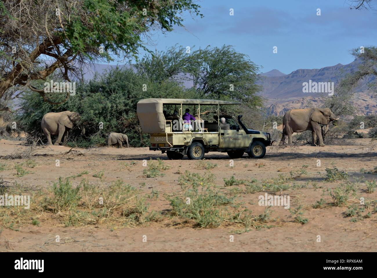 zoology, mammal (mammalia), tourists observe African savanna elephants or African elephant (Loxodonta , Additional-Rights-Clearance-Info-Not-Available - Stock Image
