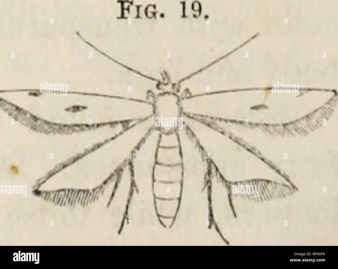 . Agriculture of Maine. ... annual report of the Secretary of the Maine Board of Agriculture. Agriculture -- Maine. 174 BOARD OF AGRICULTURE. grass lanes, or by rivers and pools in summer. Some of the spe- cies are day fliers. Tortricidce. (Leaf-rollers.) These are small, broad-winged moths, which at rest fold their wings, roof-like, over their bodies, fiq. is. in the form of a triangle, (as in Pig. 18.) They are abund- ant in June and July, in low bushes, herbage, or on leaves of trees, where they can be swept by the net. The larvae are rather thick greenish caterpillars, which roll up leaves - Stock Image