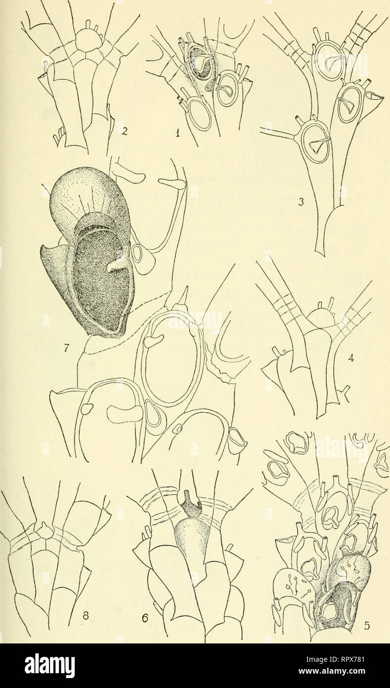 . Allan Hancock Pacific expeditions. [Reports]. Scientific expeditions. NO. 1 OSBURN : EASTERN PACIFIC BRYOZOA CHEILOSTOMATA PL. 14. Please note that these images are extracted from scanned page images that may have been digitally enhanced for readability - coloration and appearance of these illustrations may not perfectly resemble the original work.. Allan Hancock Foundation. Los Angeles, University of Southern California Press Stock Photo