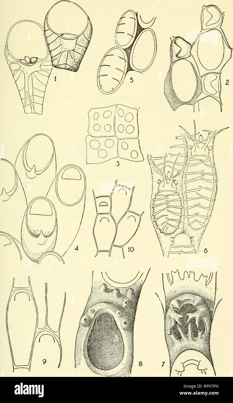 . Allan Hancock Pacific expeditions. [Reports]. Scientific expeditions. NO. 1 OSBURN : EASTERN PACIFIC BRYOZOA CHEILOSTOMATA PL. 3. Please note that these images are extracted from scanned page images that may have been digitally enhanced for readability - coloration and appearance of these illustrations may not perfectly resemble the original work.. Allan Hancock Foundation. Los Angeles, University of Southern California Press Stock Photo