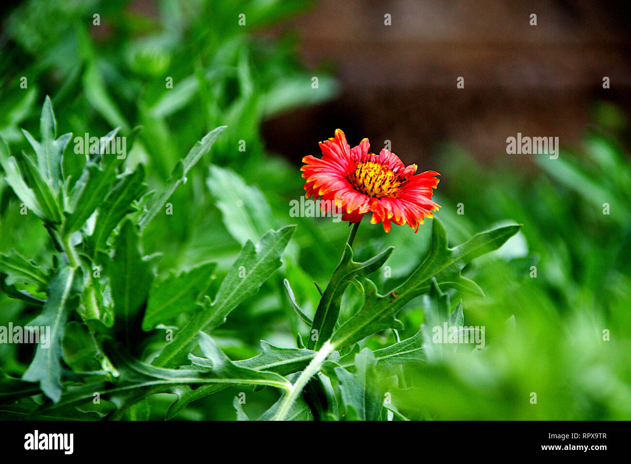 Lone red flower in the middle of green leaves with blurred background - Stock Image