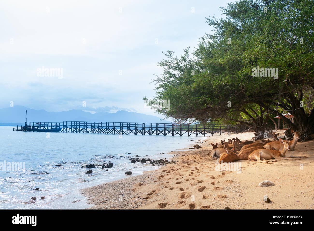 Herd of Javan Rusa under tree on beach of Bali west national park Menjangan ( deer island ) - popular travel destination for scuba diving safari - Stock Image