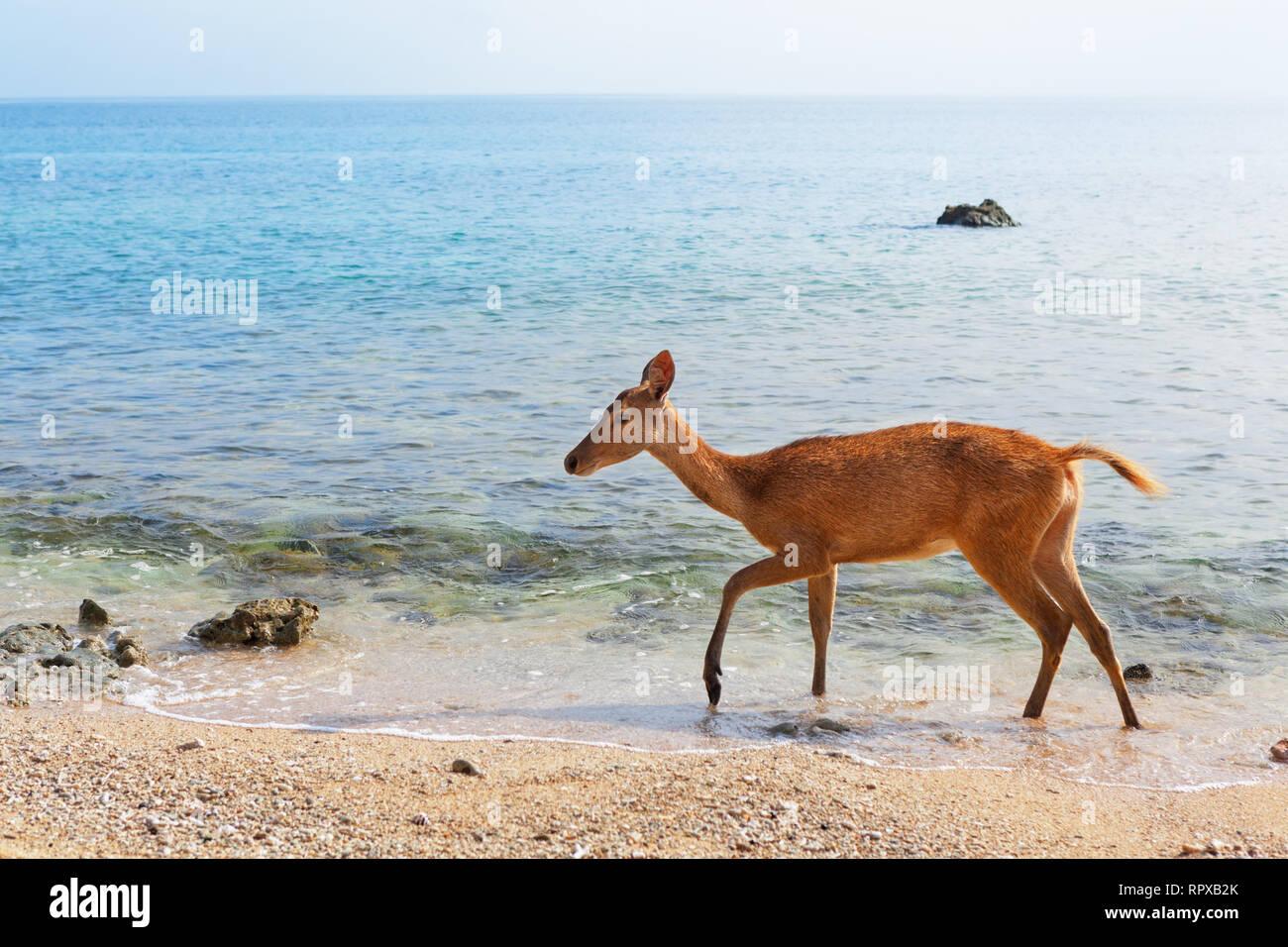Fawn of Javan Rusa on beach of Bali west national park and Menjangan ( deer island ) - popular travel destination for scuba diving safari, snorkeling - Stock Image