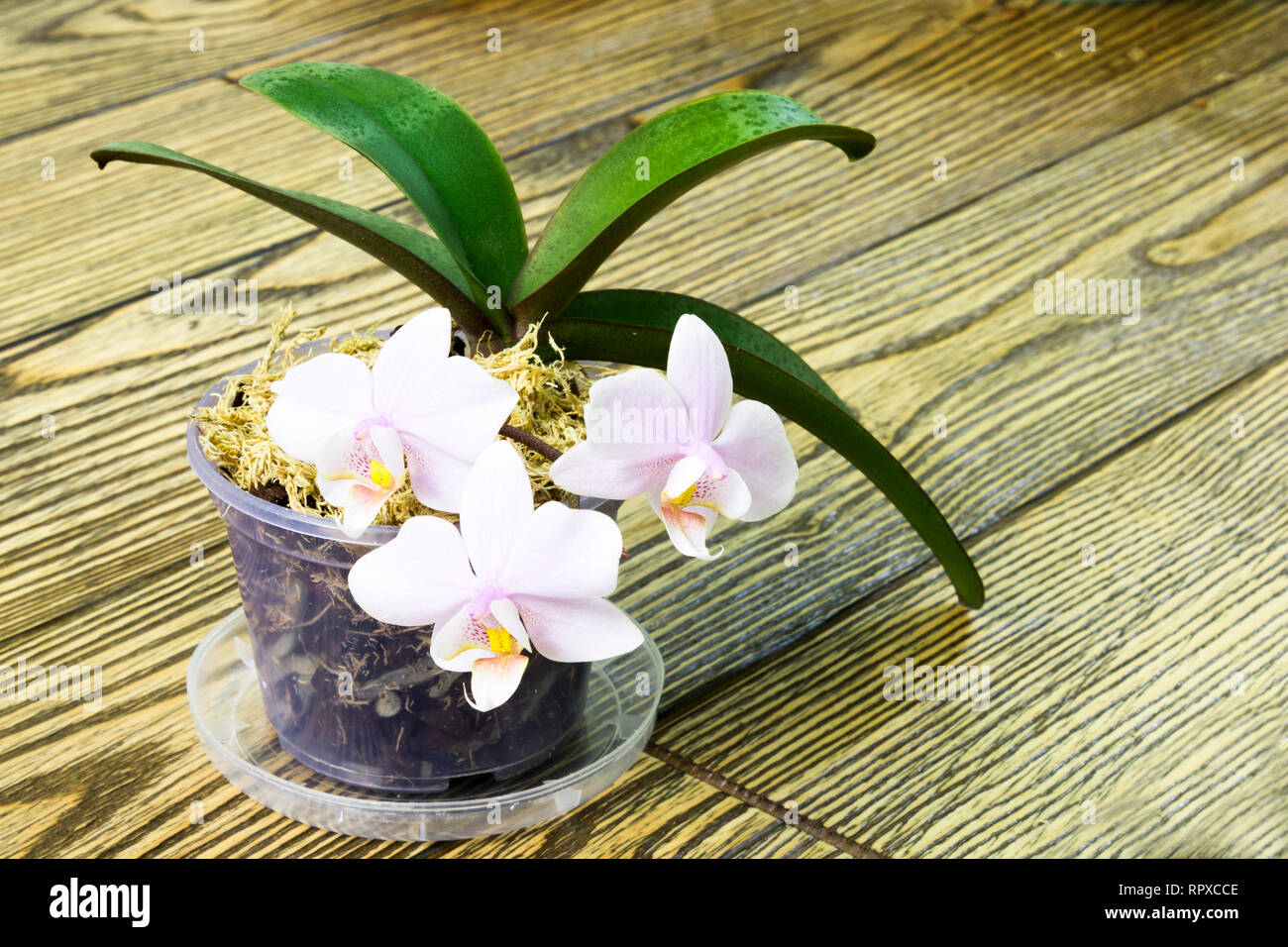 Alamy & flower pot with a mini pink orchid with Polka dot pattern on the ...