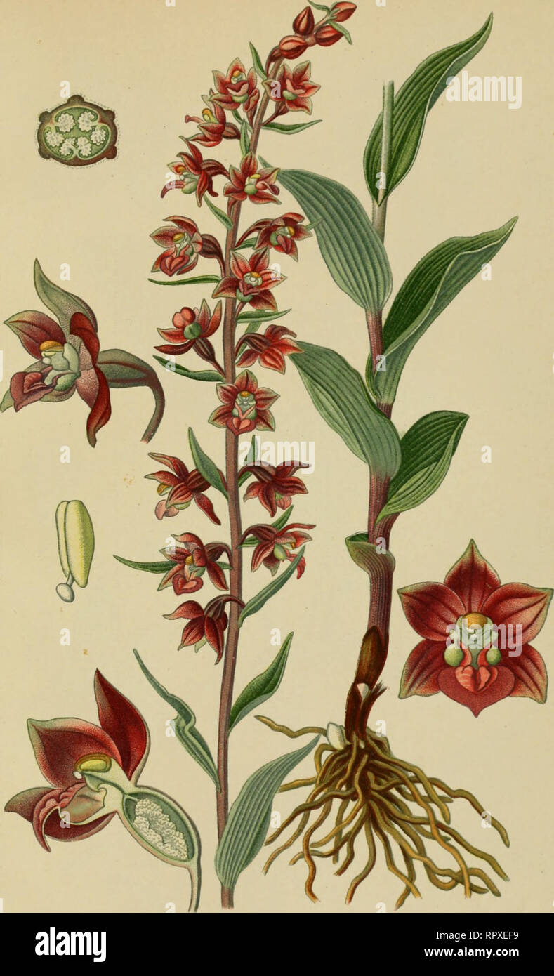 . Album des orchidées de l'Europe centrale et septentrionale. PI. XI. Epipactis atrorubens, Schulz. Epipactis pourpre. Darkred Epipactis. Dunkelrotlwr Din^el. Régions boisées el moiilagnousos de toute l'Europe. Mai-juin.. Please note that these images are extracted from scanned page images that may have been digitally enhanced for readability - coloration and appearance of these illustrations may not perfectly resemble the original work.. Correvon, Henry, 1854-1939. Genève, Librairie Georg Stock Photo