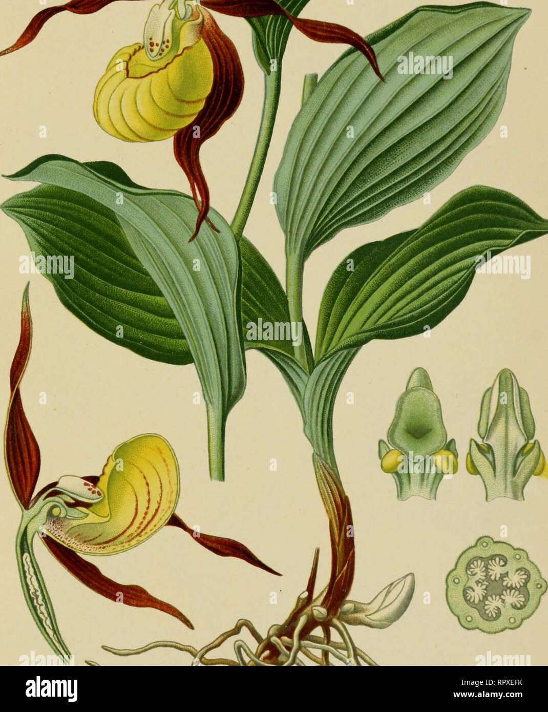 BUY 3 GET 2 FREE Alaskan Lady/'s Slipper Orchid 50 Pcs Seeds Cypripedium Guttatum