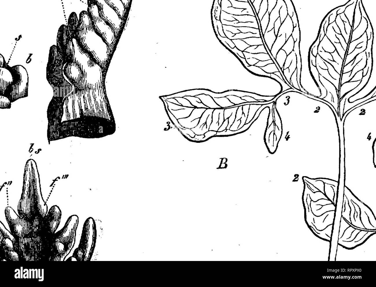 . Text-book of botany, morphological and physiological. Botany. 184 MORPHOLOGY OF MEMBERS. developes further only on one side, the new branches always arising either only on the left or only on the right side, 3 from 2, and 4 from 3; every lateral branch thus produces a sympodial system, and in fact a helicoid cyme. If now the basal pieces 2, 3, 4, combined in a sympodial manner on both lateral shoots, are imagined to be much shortened, so that the bases of the lobes 2, 3, 4 come close to the base of the lamina 1, then all the lobes of the leaf will appear to spring from one point, and the lea - Stock Image