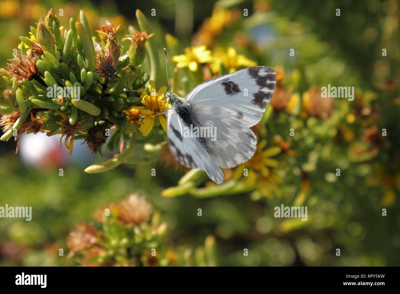 Bath White (Pontia daplidice), visiting garrigue vegetation near Marfa, Malta Stock Photo