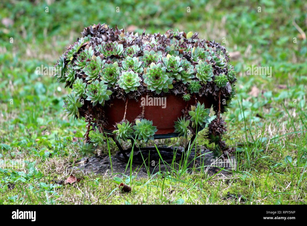 Overgrown Houseleek Or Sempervivum Or Liveforever Or Hen And