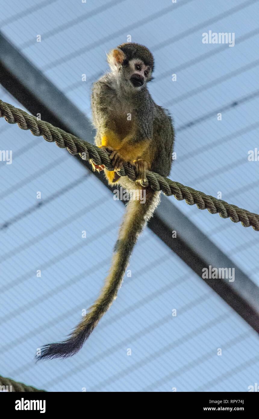 Blackpool Zoo Lemur - Stock Image