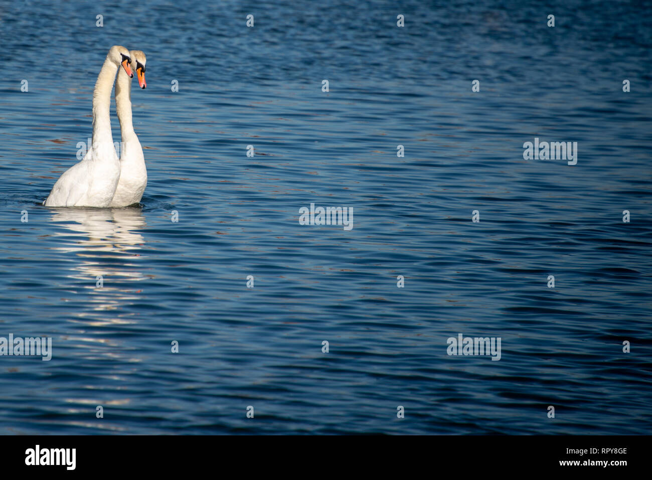 pair of beautiful white swans with elegant necks rearing out of deep blue water in sync with space for caption - Stock Image