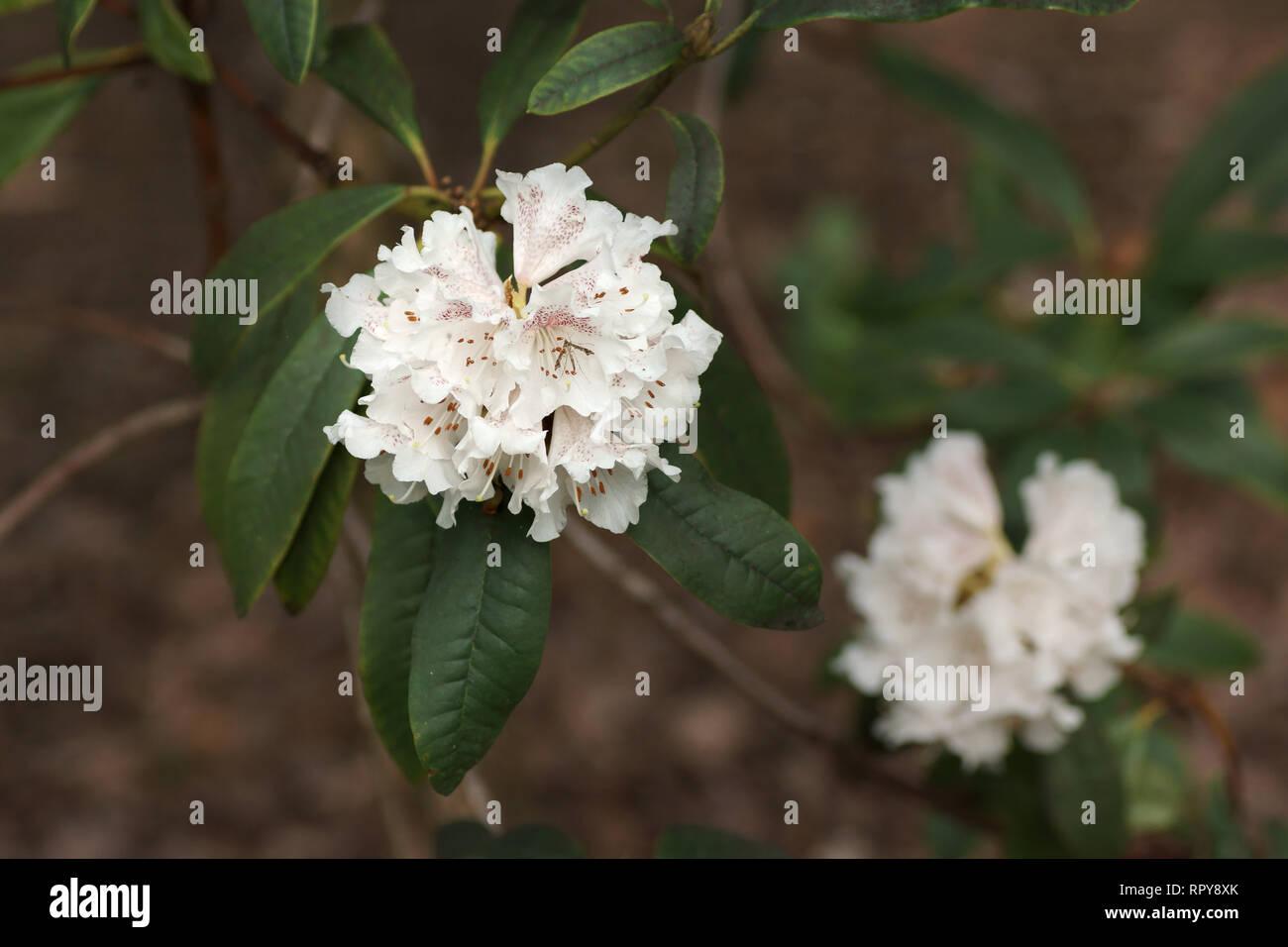 Rhododendron arboreum ssp cinnamomeum - Stock Image