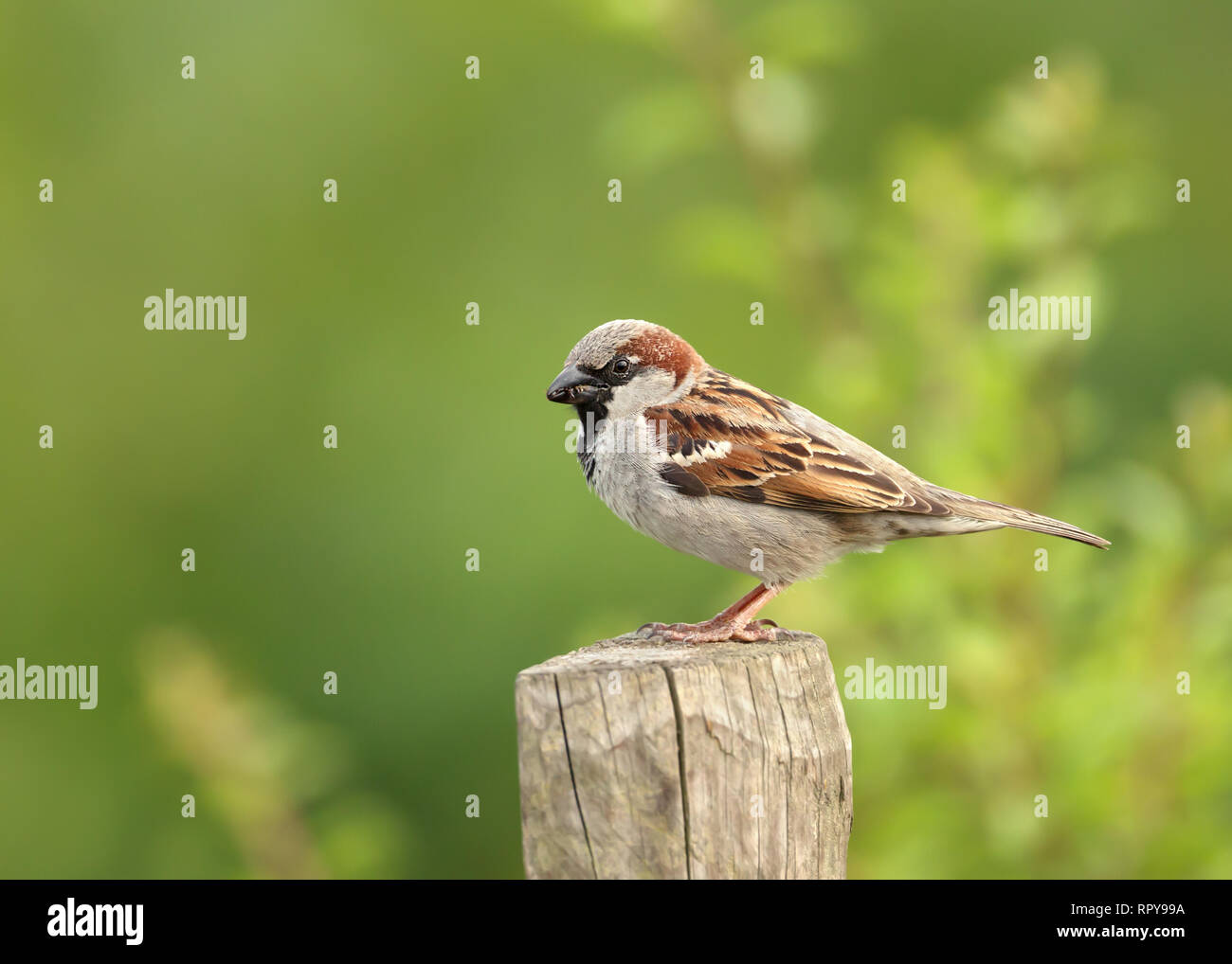 House Sparrow (Passer domesticus) perched on a post, UK. - Stock Image