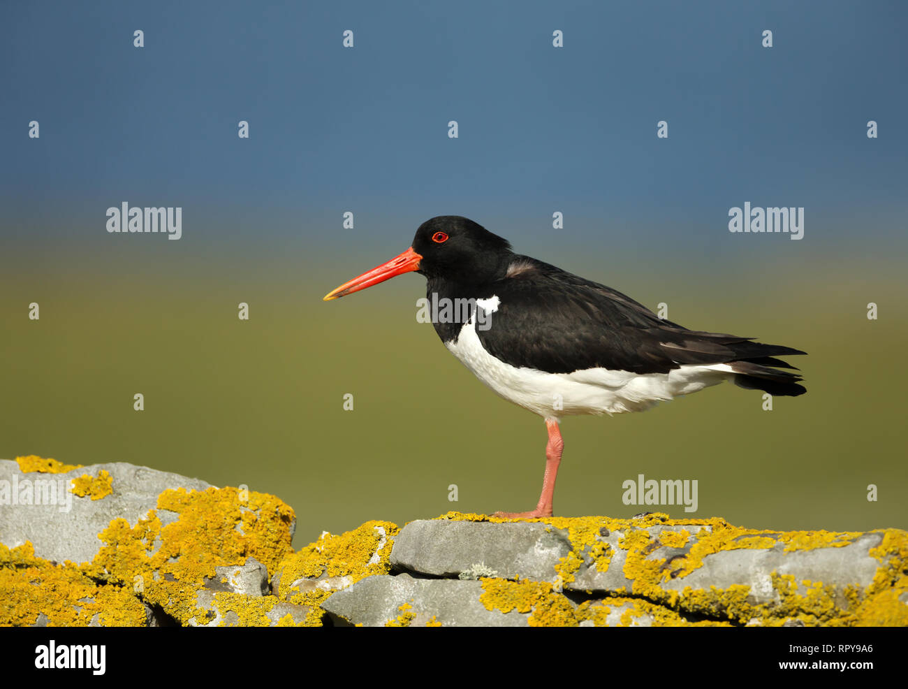 Close up of Oystercatcher (Haematopus ostralegus) perched on a mossy stone fence in Scotland, UK. - Stock Image