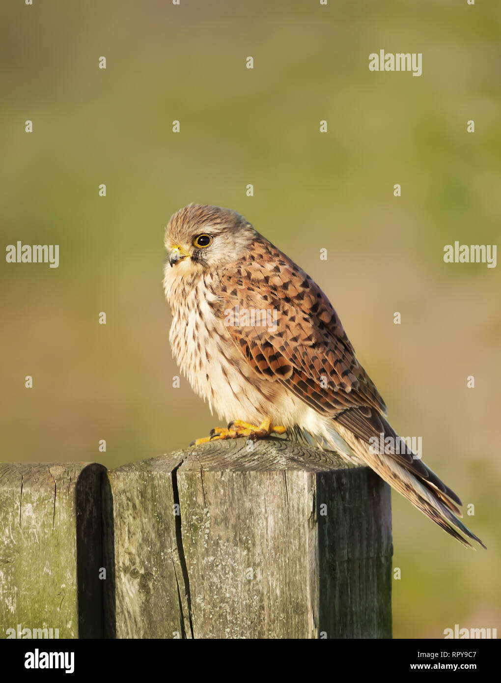 Close up of a common kestrel (Falco tinnunculus) perched on a wooden post against colorful background, UK. - Stock Image