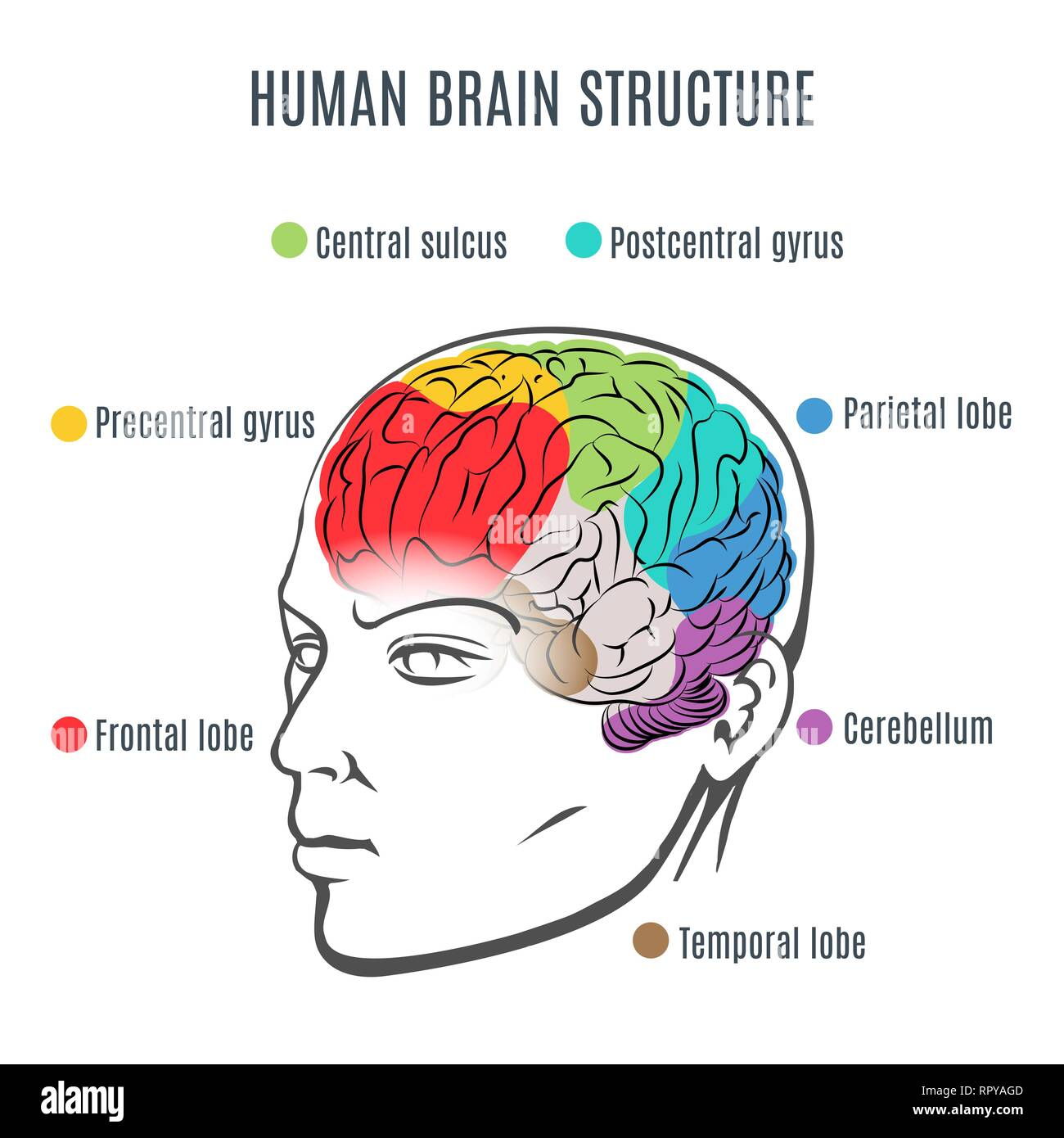 Structure of the human brain. Human head with brain inside. Human brain main parts. Vector illustration. - Stock Image