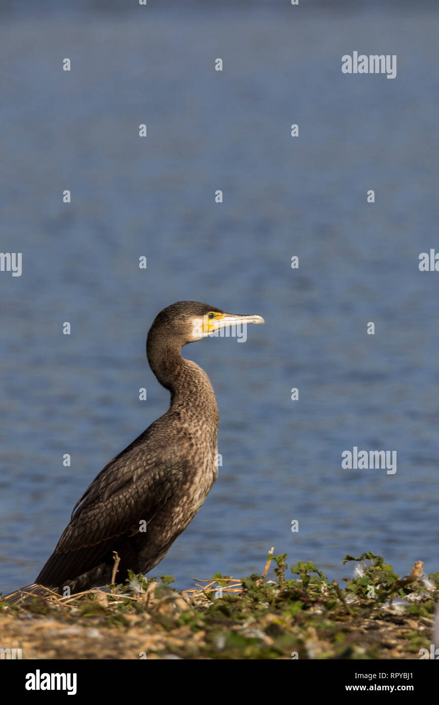 Cormorant (Phalacrocorax carbo) portrait format standing on grass  space top half for copy text. Diving bird long hooked bill long neck webbed feet - Stock Image