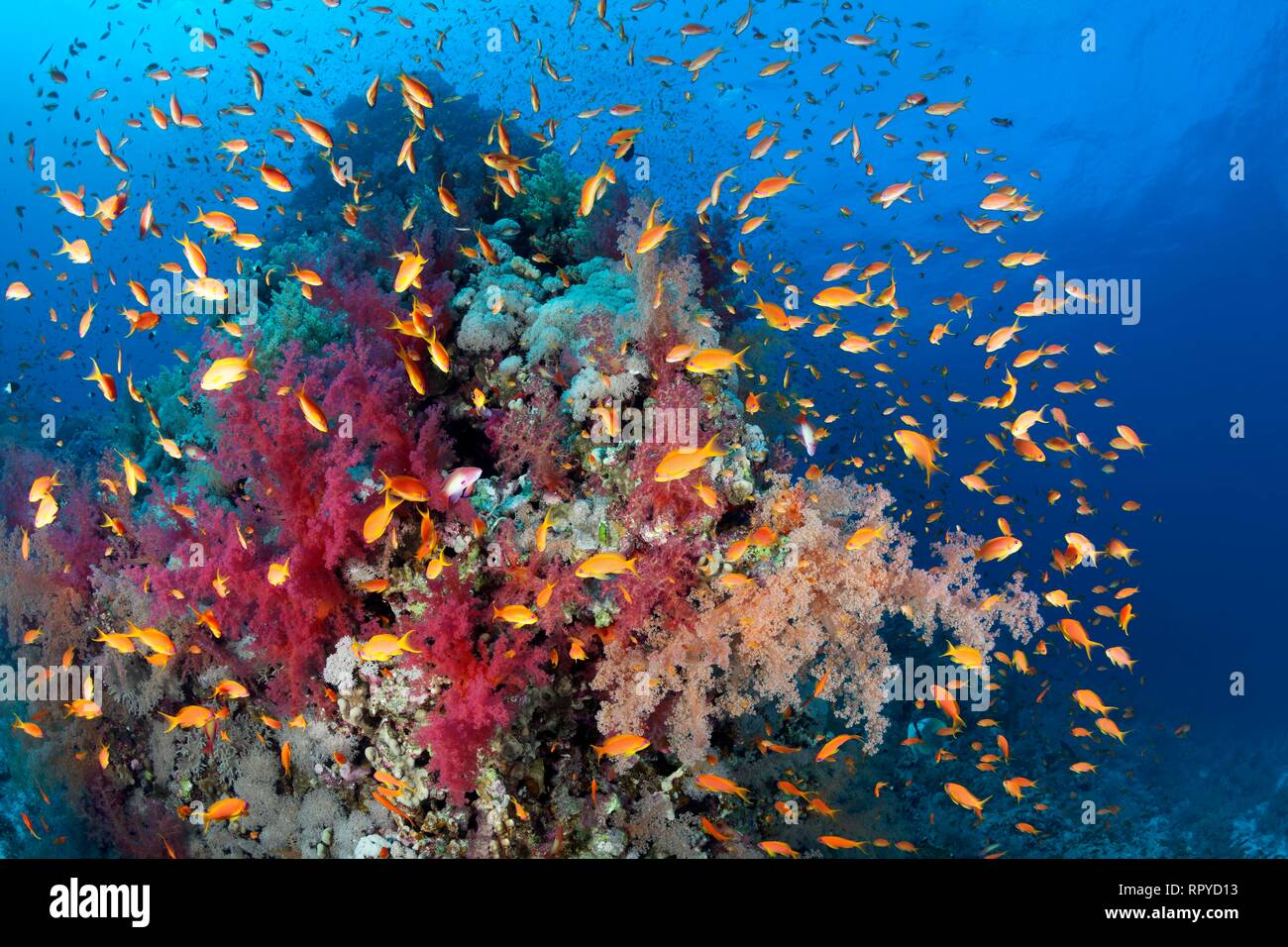 Coral reef, coral block densely covered with Klunzinger's Soft Corals (Dendronephthya klunzingeri), swarm Anthias (Anthiinae) - Stock Image