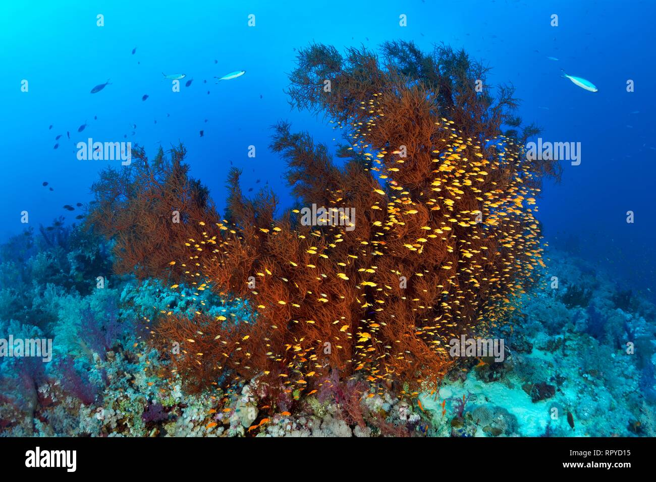 Coral Reef with Black Coral (Antipathes dichotoma) and Swarm Anthias (Anthiinae), Red Sea, Egypt - Stock Image