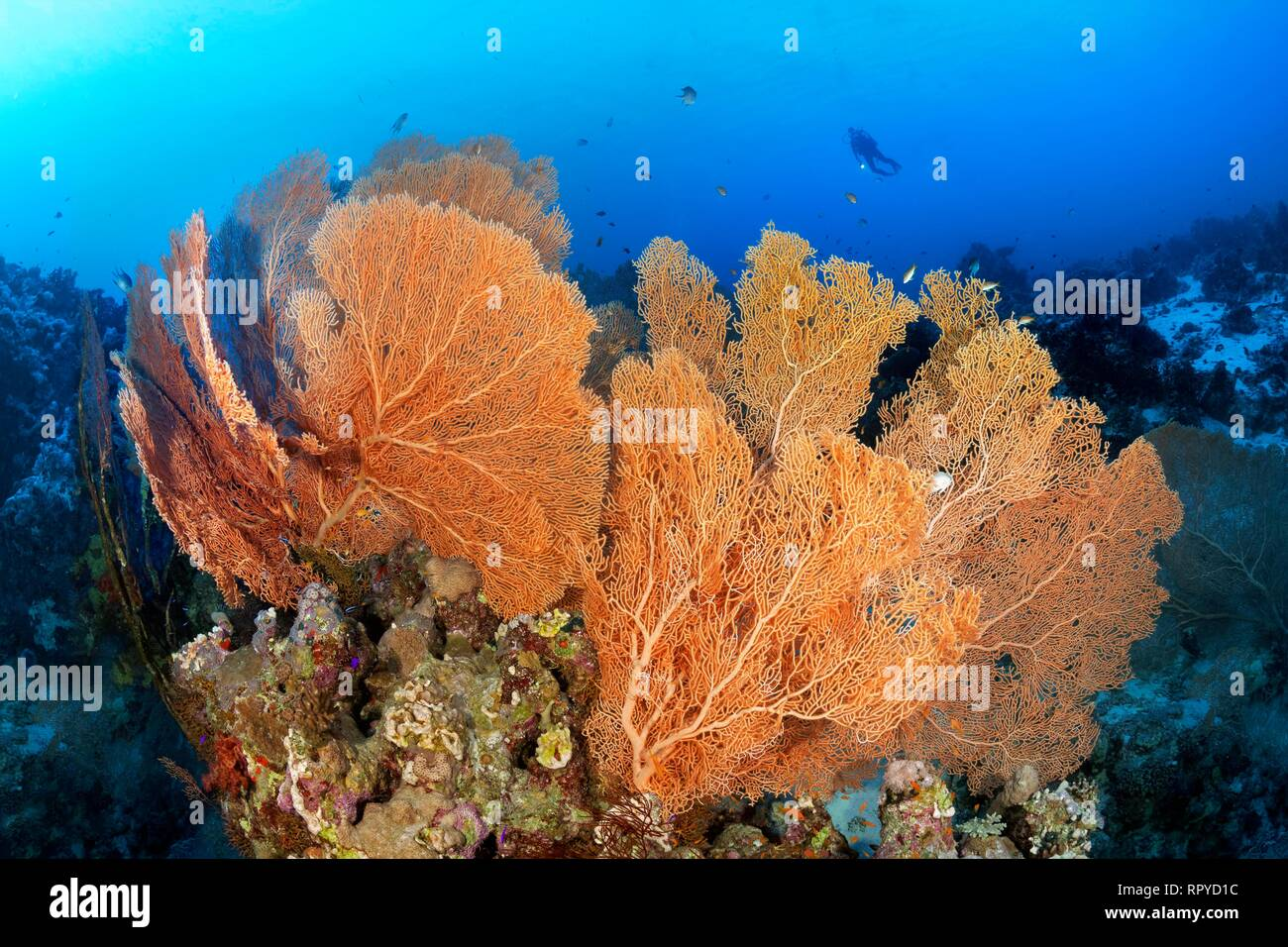 Diver floats over coral reef ridge with Giant Sea Fans (Annella mollis), Red Sea, Egypt, Red Sea, Egypt - Stock Image