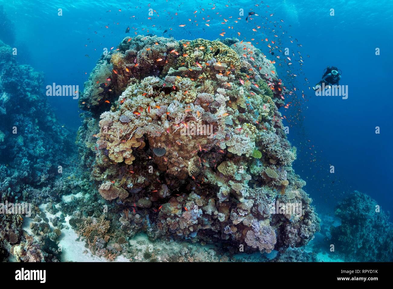 Diver, huge coral block from different stony corals (Scleractinia), swarm Anthias (Anthiinae) Red Sea, Egypt - Stock Image