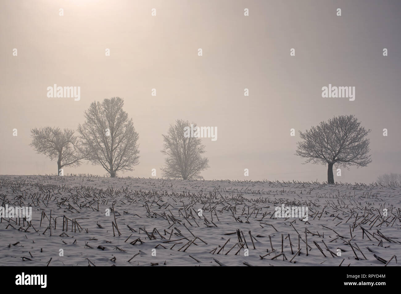 Trees shrouded in fog and covered with a heavy hoarfrost overlooking corn stubble from the previous year's harvest. Taken in the early morning light. - Stock Image