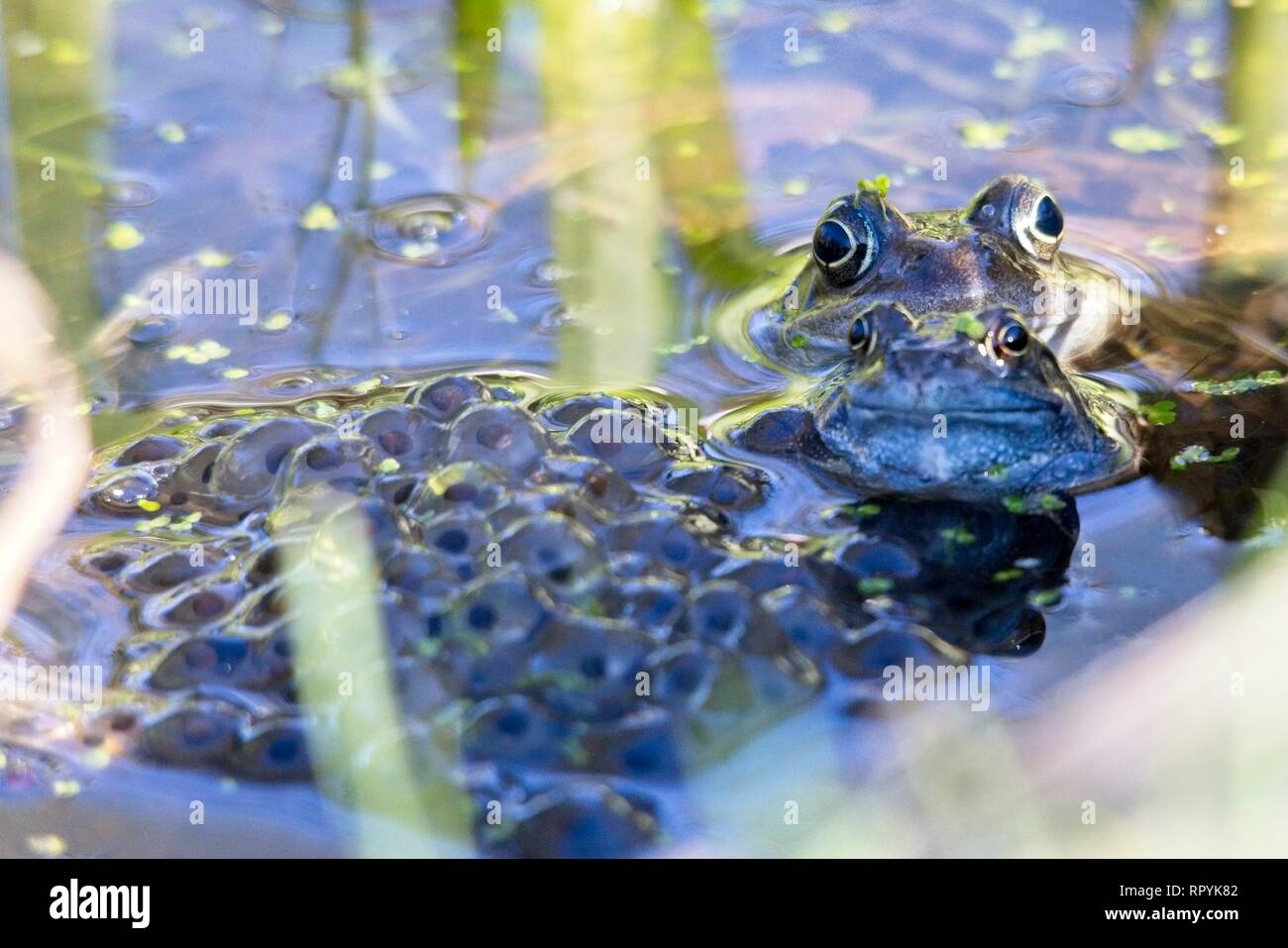 Hailsham, UK. 23rd Feb 2019. Signs of spring today as a Common frog (Rana temporaria) sits among a pile of spawn laid overnight in Hailsham, East Sussex, UK. Credit: Ed Brown/Alamy Live News - Stock Image