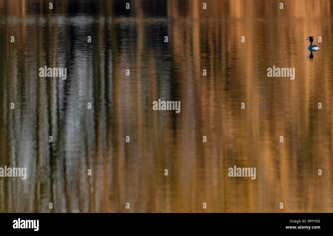 Watermead, Leicestershire, UK. 23rd February, 2019. Leicester Watermead nature reserve 23th Febuary 2019: Mild warm late afternoon, golden water reflections Great crested grebe swims. Clifford Norton Alamy. Credit: Clifford Norton/Alamy Live News Stock Photo