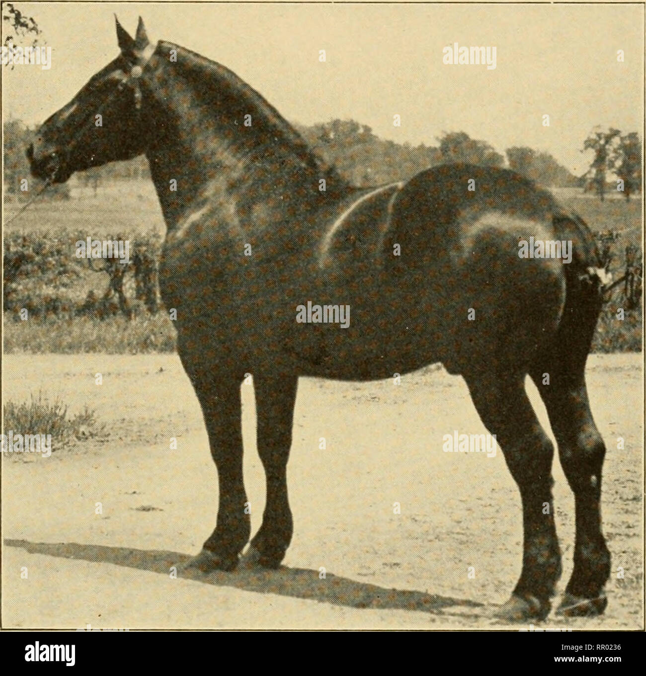""". Agriculture through the laboratory and school garden. Agriculture. FARM ANIMALS. 411 Quality should be evident to produce perfection. The work of the draft-horse is done in most part at the walk, and this gait should be straight,. FIG. 153. —PKRCHERON STALLION """" PINK,"""" 24,756 (47, 513). Owned by Dunham & Fletcher, Wayne, 111. Twice Champion at the Inter- national I,ive Stock Show. springy, well balanced and rapid. At the trot the same features are desirable. An enero-etic, yet docile disposition is essential. Great weight and strength, coupled with quality, action and symmetry, - Stock Image"""