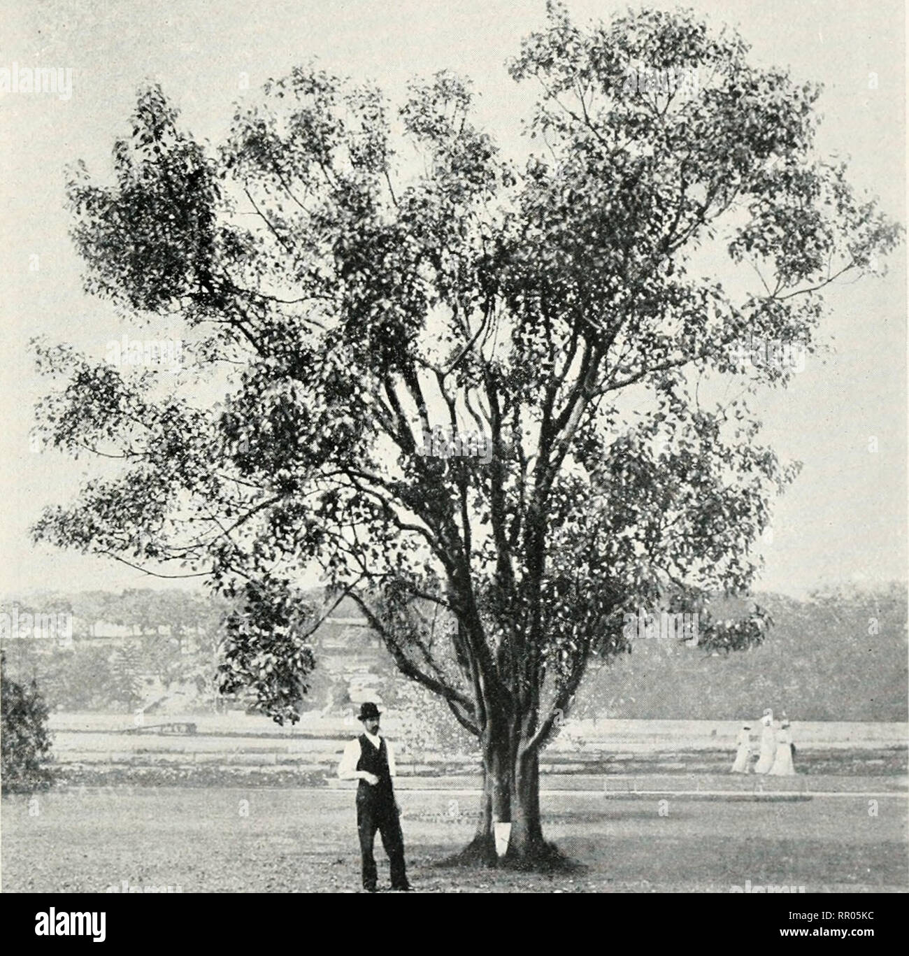 """. The agricultural gazette of New South Wales. Agriculture; Agriculture -- Australia New South Wales. Dec. 2, 1908.] Agricultural Gazette of N.S.W. 973 24. F. religiosn, L. """" Peepul"""" or """"Pipal."""" The """" Sacreci Fig Tree """" of India and Ceylon. See tt. 67^ and 84« of vol. i, Ann. Bof. Gard., Calcutta. The sacred """"Bo"""" tree at Anuradhapura, in Cpylon, which was brought from North India and planted in 288 B.C., is probably the oldest, or nearly the oldest tree in the world, historically known. (Emerson-Tennant, """"Ceylon,"""" ii, 613, quoted by Gamble.) Th - Stock Image"""