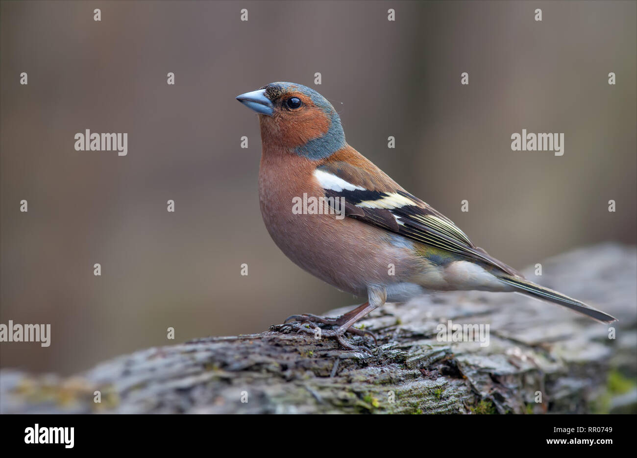 Male Common chaffinch great posing in early spring - Stock Image