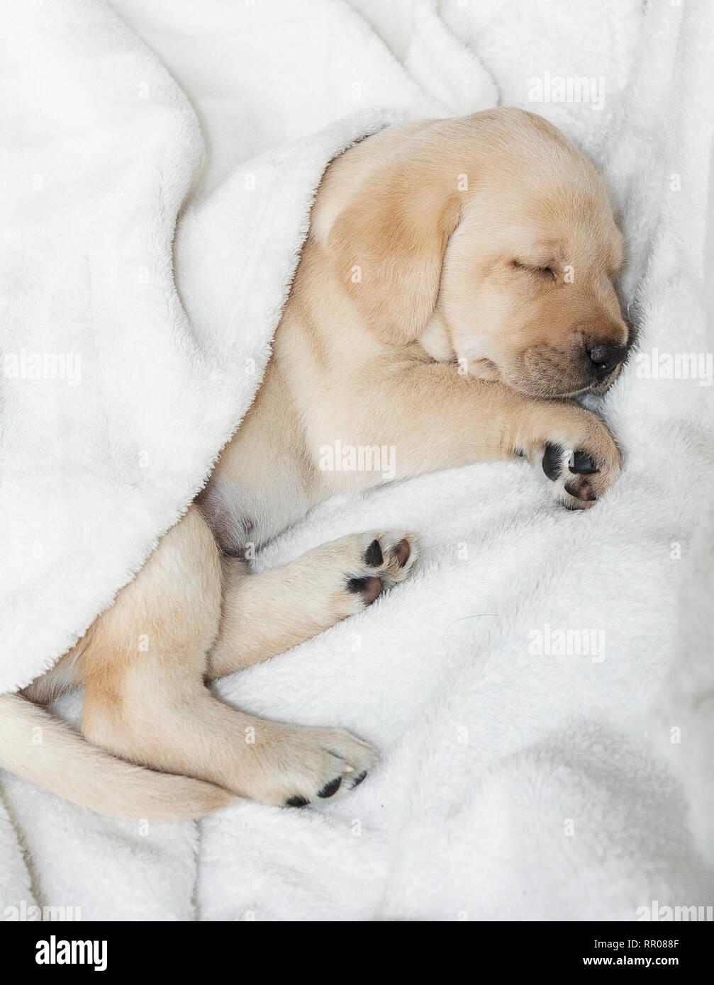 Golden Yellow Labrador Dog Puppy Stock Photo Alamy