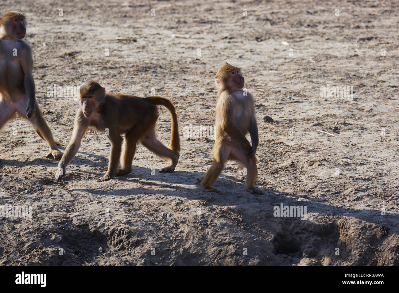 Sturdy monkeys standing upright sand bottom - Stock Image
